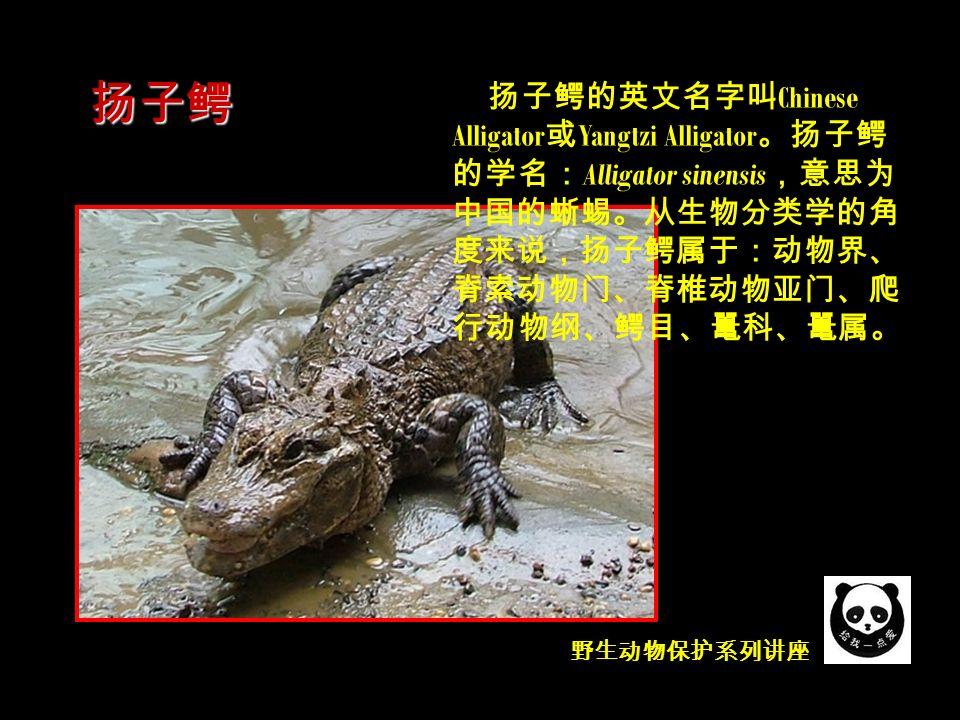 野生动物保护系列讲座 扬子鳄的英文名字叫 Chinese Alligator 或 Yangtzi Alligator 。扬子鳄 的学名: Alligator sinensis ,意思为 中国的蜥蜴。从生物分类学的角 度来说,扬子鳄属于:动物界、 脊索动物门、脊椎动物亚门、爬 行动物纲、鳄目、鼍科、鼍属。 扬子鳄