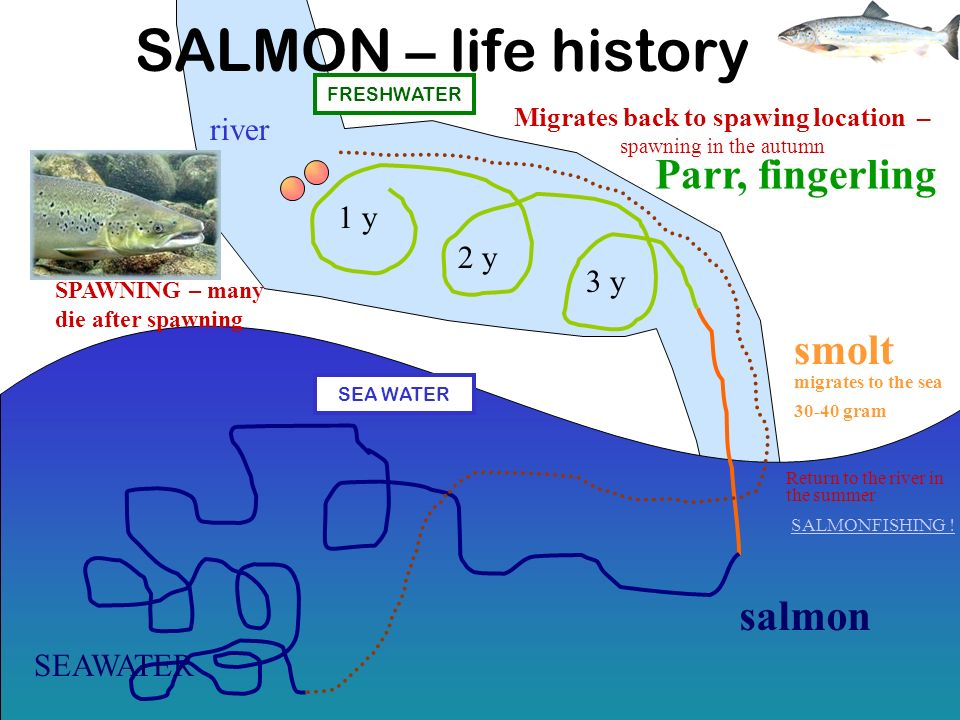SALMON – life history 1 y 2 y 3 y river Parr, fingerling smolt migrates to the sea 30-40 gram salmon Migrates back to spawing location – spawning in the autumn Return to the river in the summer SALMONFISHING .