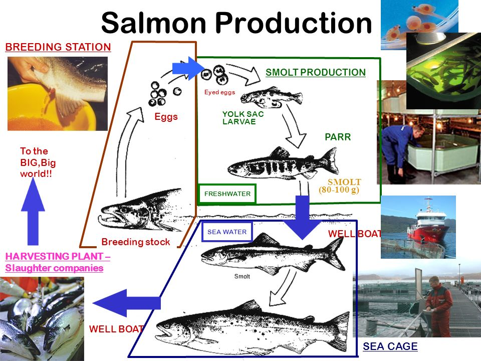 Salmon Production SMOLT PRODUCTION BREEDING STATION WELL BOAT HARVESTING PLANT – Slaughter companies Breeding stock Eggs Eyed eggs YOLK SAC LARVAE FRESHWATER SEA WATER PARR SEA CAGE To the BIG,Big world!.