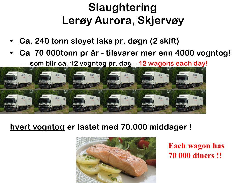 Slaughtering Lerøy Aurora, Skjervøy Ca. 240 tonn sløyet laks pr.