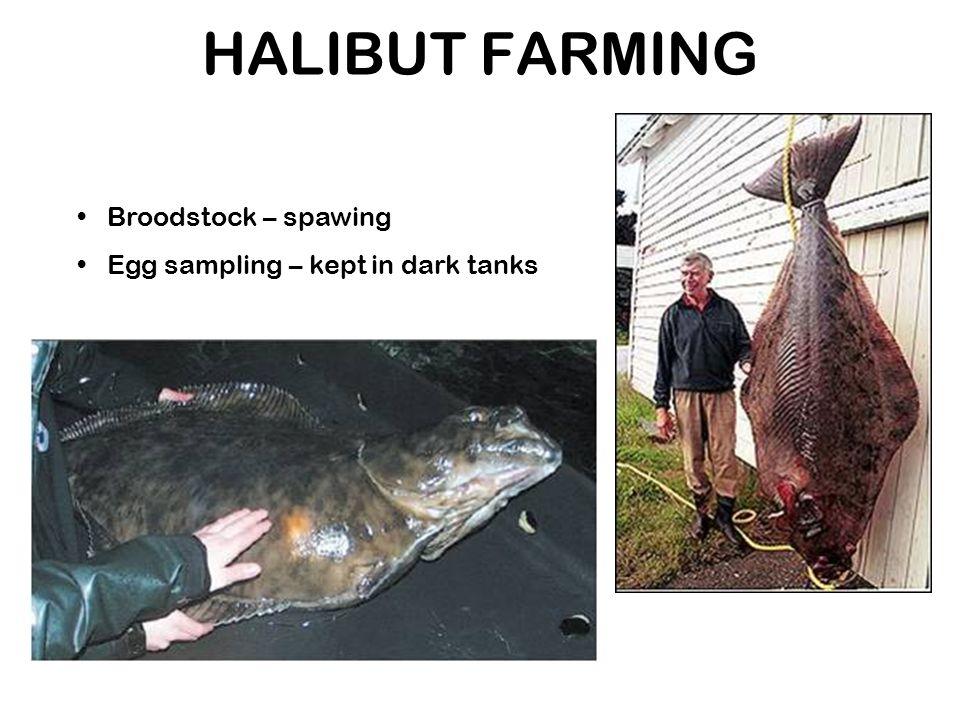 HALIBUT FARMING Broodstock – spawing Egg sampling – kept in dark tanks