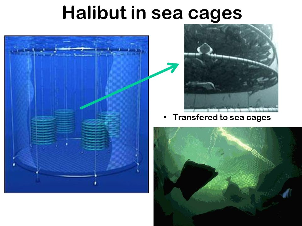 Halibut in sea cages Transfered to sea cages