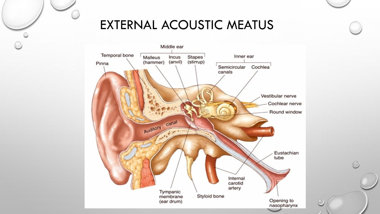 EXTERNAL ACOUSTIC MEATUS