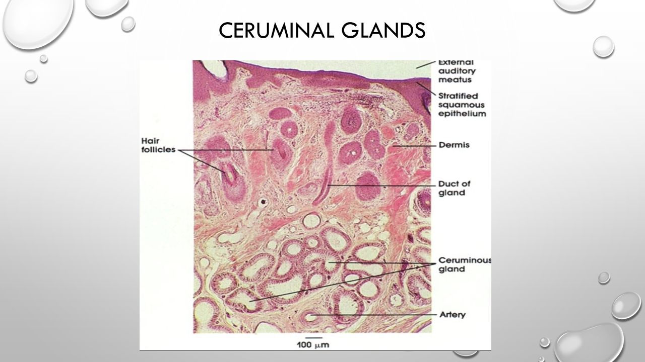 CERUMINAL GLANDS