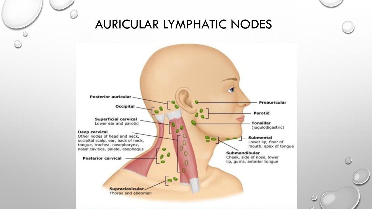 AURICULAR LYMPHATIC NODES