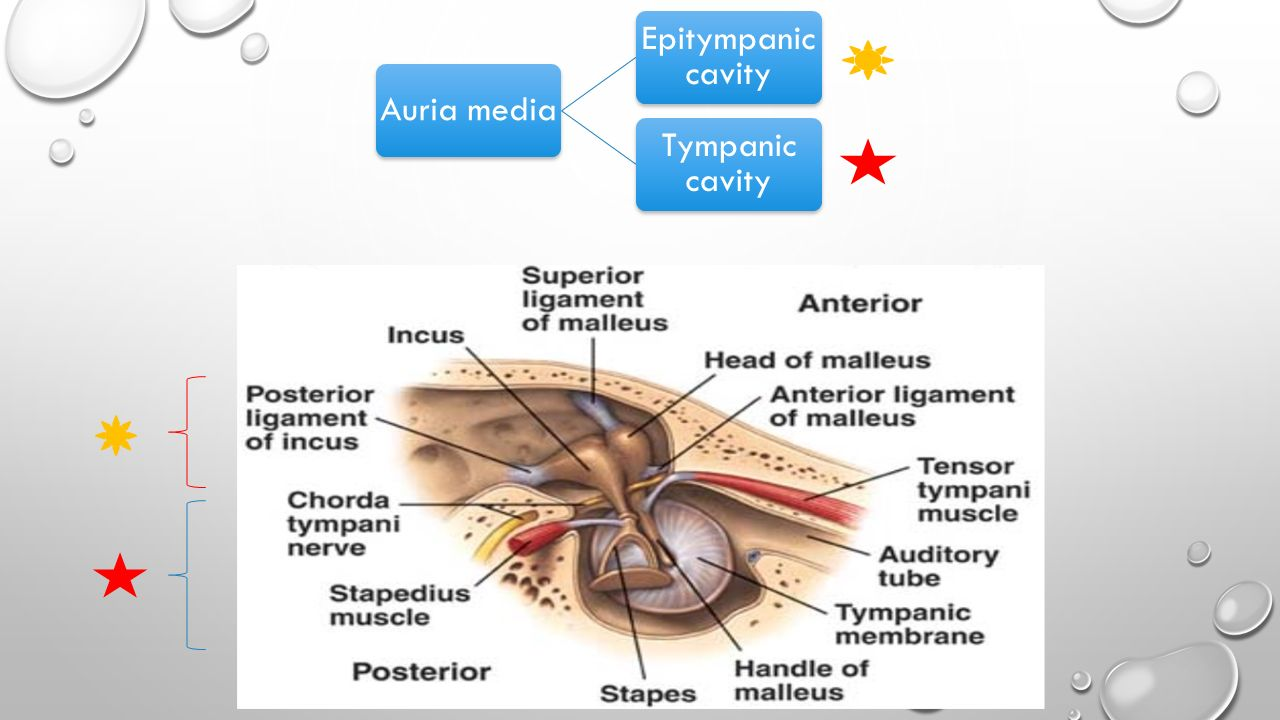 AUDITORY OSSICLES