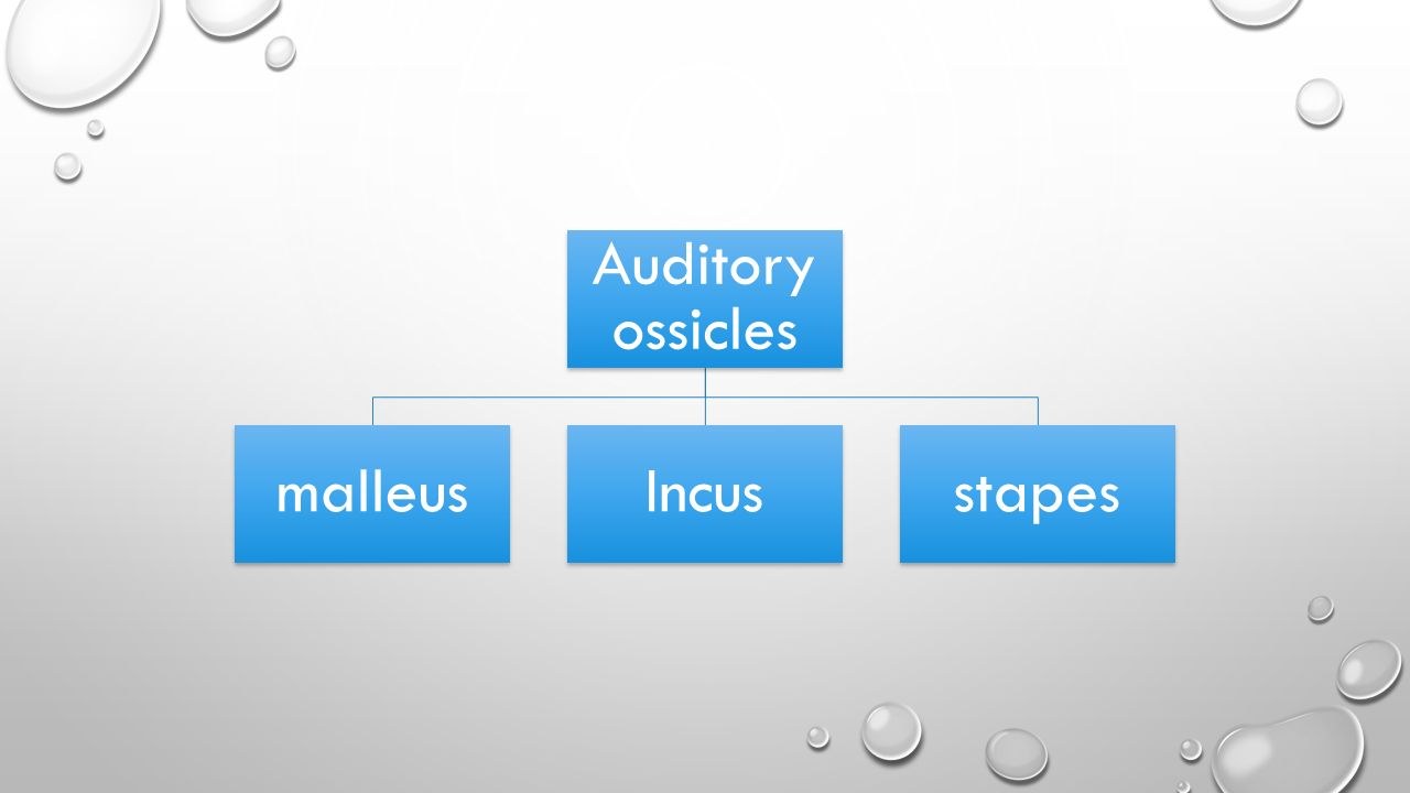 Auditory ossicles malleusIncusstapes