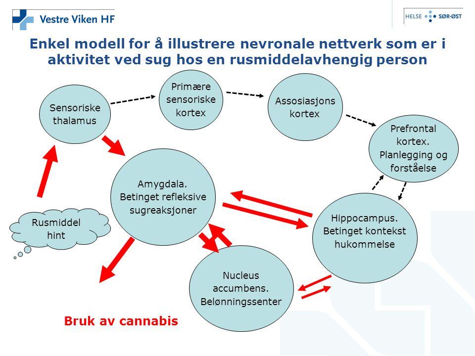 Enkel modell for å illustrere nevronale nettverk som er i aktivitet ved sug hos en rusmiddelavhengig person Sensoriske thalamus Primære sensoriske kortex Assosiasjons kortex Prefrontal kortex.