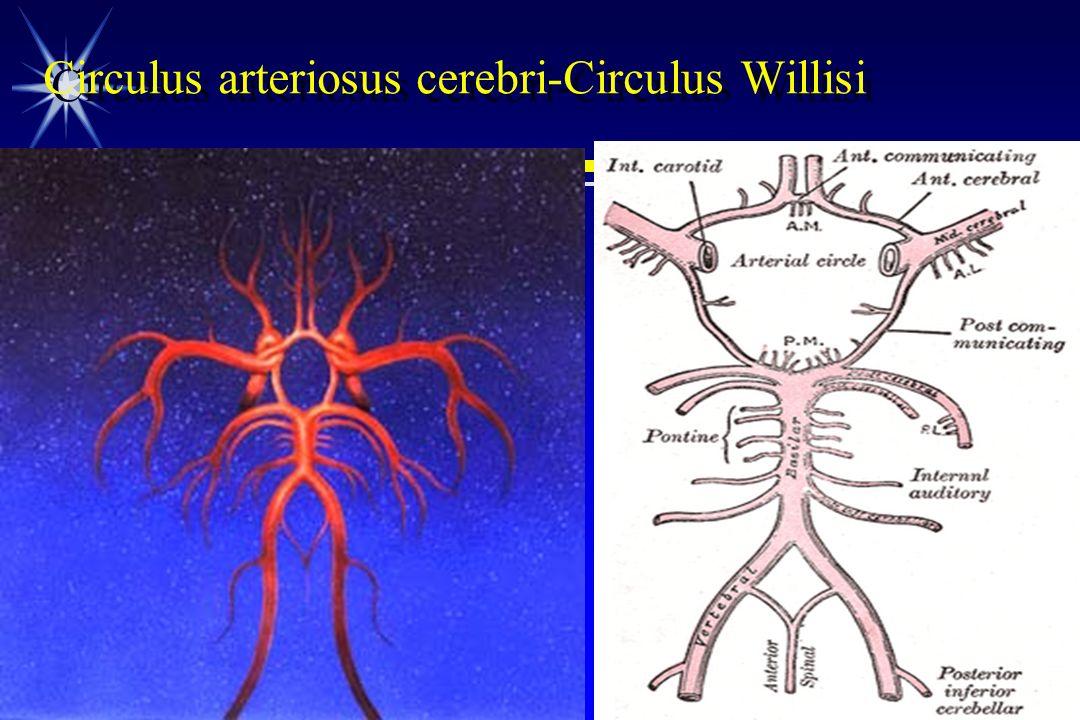 Circulus arteriosus cerebri-Circulus Willisi