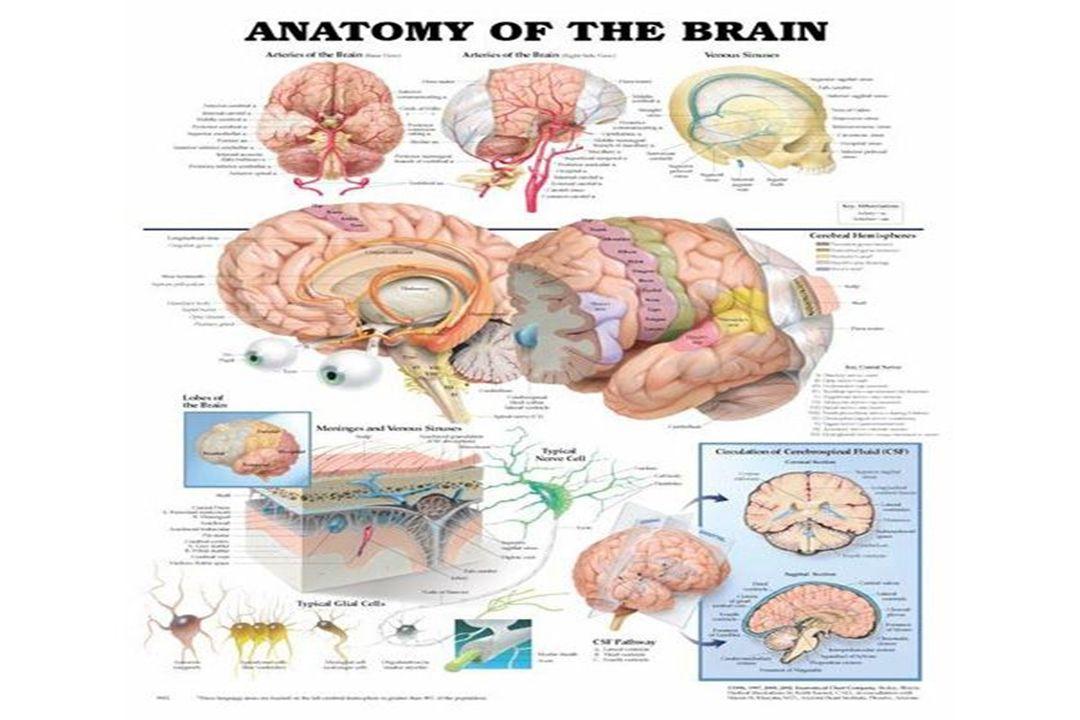 Cerebralt infarkt arteria cerebri media fremre/øvre gren