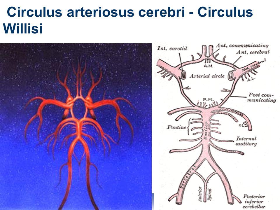27 Circulus arteriosus cerebri - Circulus Willisi
