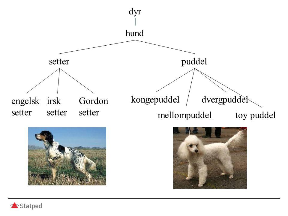 hund setterpuddel engelsk setter irsk setter Gordon setter kongepuddel mellompuddel dvergpuddel toy puddel dyr