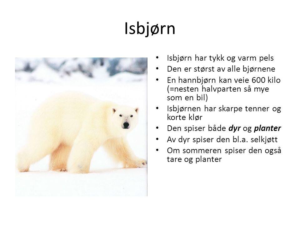 Isbjørn Isbjørn har tykk og varm pels Den er størst av alle bjørnene En hannbjørn kan veie 600 kilo (=nesten halvparten så mye som en bil) Isbjørnen h