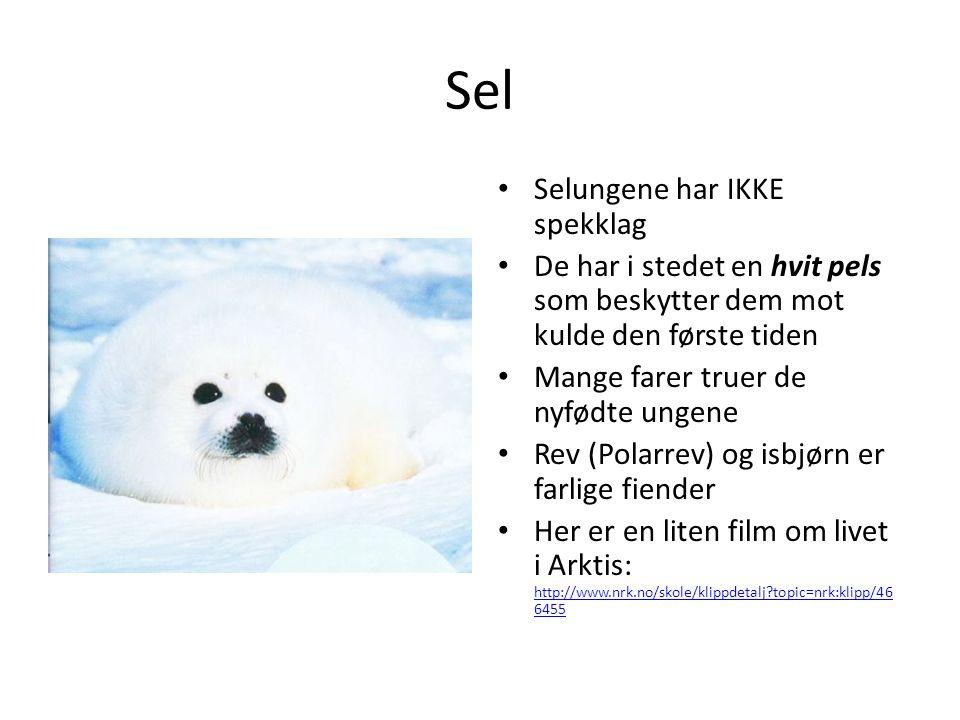 Sel Selungene har IKKE spekklag De har i stedet en hvit pels som beskytter dem mot kulde den første tiden Mange farer truer de nyfødte ungene Rev (Pol