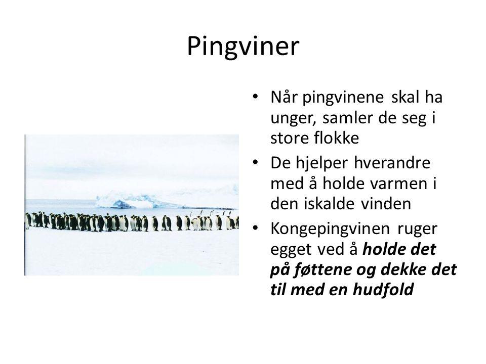 Pingviner Når pingvinene skal ha unger, samler de seg i store flokke De hjelper hverandre med å holde varmen i den iskalde vinden Kongepingvinen ruger