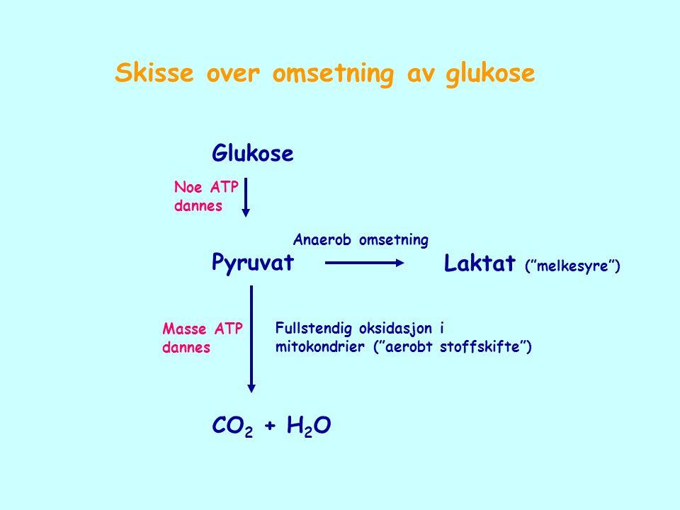 """Glukose Pyruvat CO 2 + H 2 O Laktat (""""melkesyre"""") Fullstendig oksidasjon i mitokondrier (""""aerobt stoffskifte"""") Anaerob omsetning Noe ATP dannes Masse"""