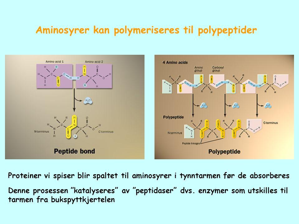 """Aminosyrer kan polymeriseres til polypeptider Proteiner vi spiser blir spaltet til aminosyrer i tynntarmen før de absorberes Denne prosessen """"katalyse"""