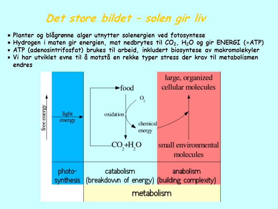 Det store bildet – solen gir liv  Planter og blågrønne alger utnytter solenergien ved fotosyntese  Hydrogen i maten gir energien, mat nedbrytes til