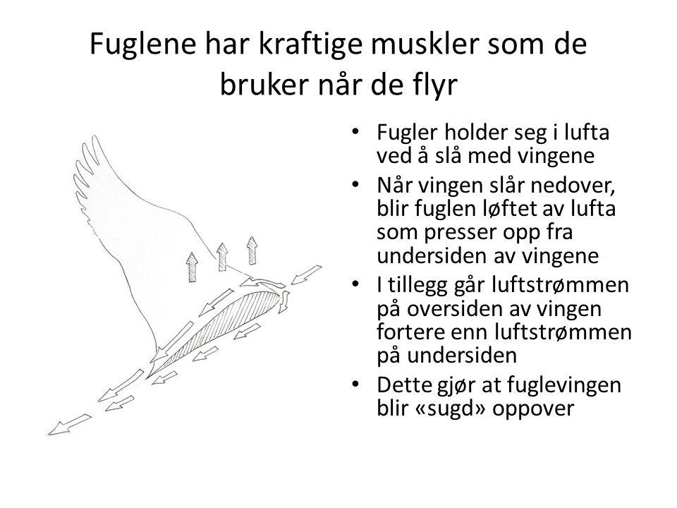 Fuglene har kraftige muskler som de bruker når de flyr https://www.youtube.com/watch?v=3So7OMwNgy8