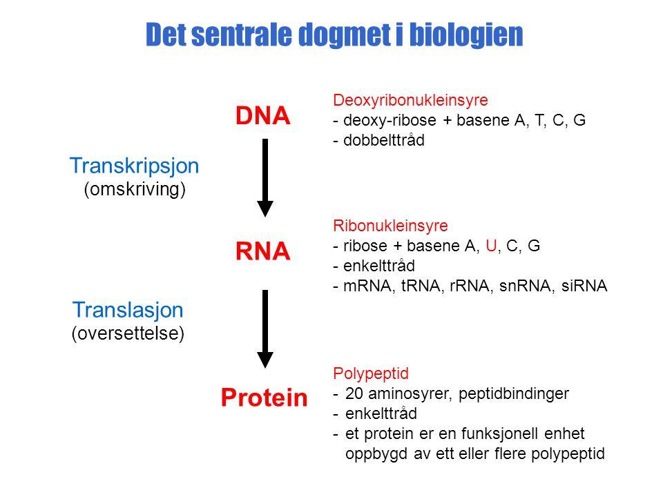 Det sentrale dogmet i biologien DNA RNA Protein Deoxyribonukleinsyre - deoxy-ribose + basene A, T, C, G - dobbelttråd Ribonukleinsyre - ribose + basene A, U, C, G - enkelttråd - mRNA, tRNA, rRNA, snRNA, siRNA Polypeptid -20 aminosyrer, peptidbindinger -enkelttråd -et protein er en funksjonell enhet oppbygd av ett eller flere polypeptid Transkripsjon (omskriving) Translasjon (oversettelse)