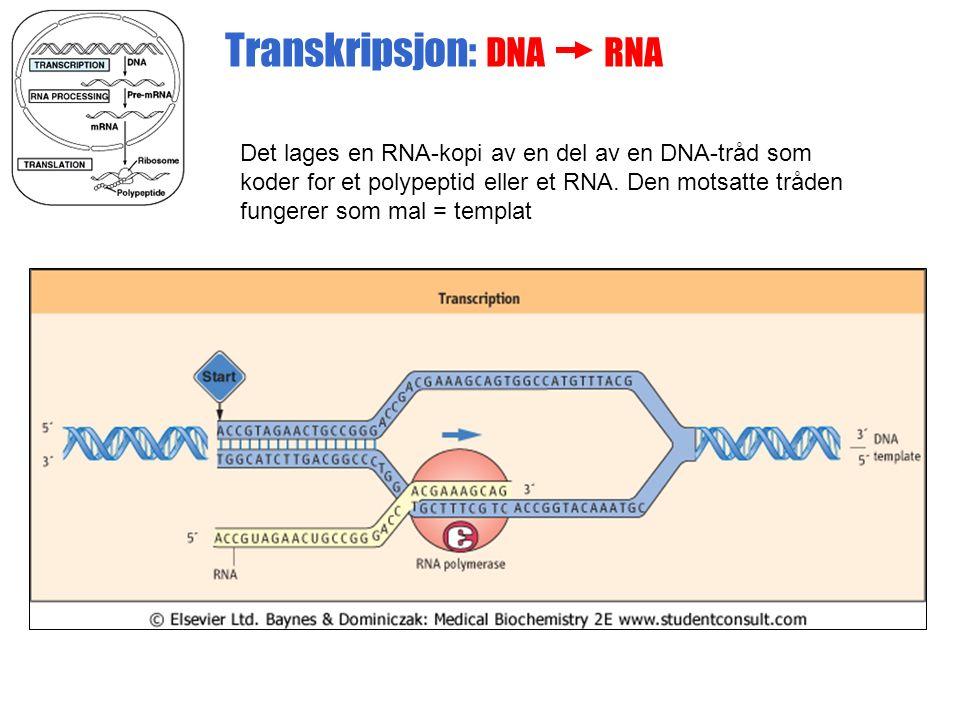 Transkripsjon: DNA RNA Det lages en RNA-kopi av en del av en DNA-tråd som koder for et polypeptid eller et RNA.