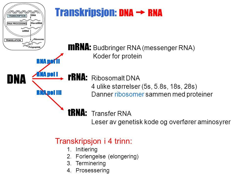 Transkripsjon: DNA RNA Transkripsjon i 4 trinn: 1.Initiering 2.Forlengelse (elongering) 3.Terminering 4.Prosessering DNA rRNA: Ribosomalt DNA 4 ulike størrelser (5s, 5.8s, 18s, 28s) Danner ribosomer sammen med proteiner mRNA: Budbringer RNA (messenger RNA) Koder for protein tRNA: Transfer RNA Leser av genetisk kode og overfører aminosyrer RNA pol II RNA pol I RNA pol III