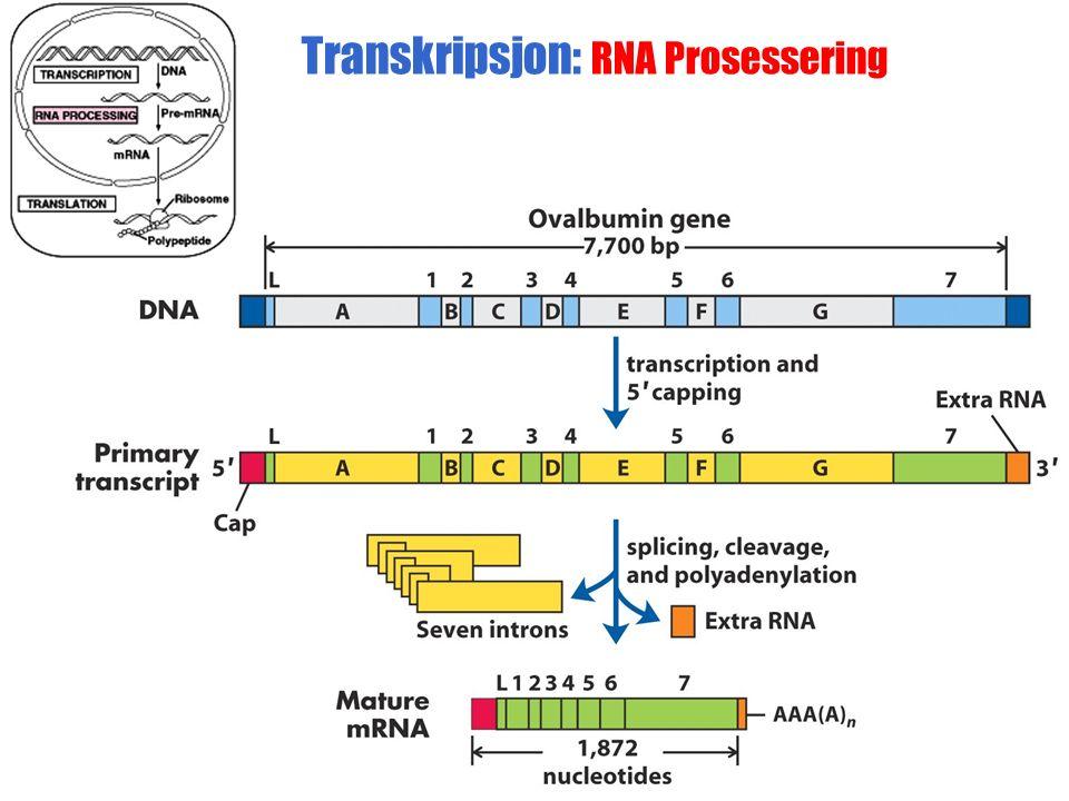 Transkripsjon: RNA Prosessering