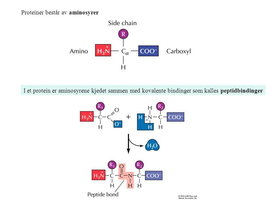 Proteiner består av aminosyrer I et protein er aminosyrene kjedet sammen med kovalente bindinger som kalles peptidbindinger