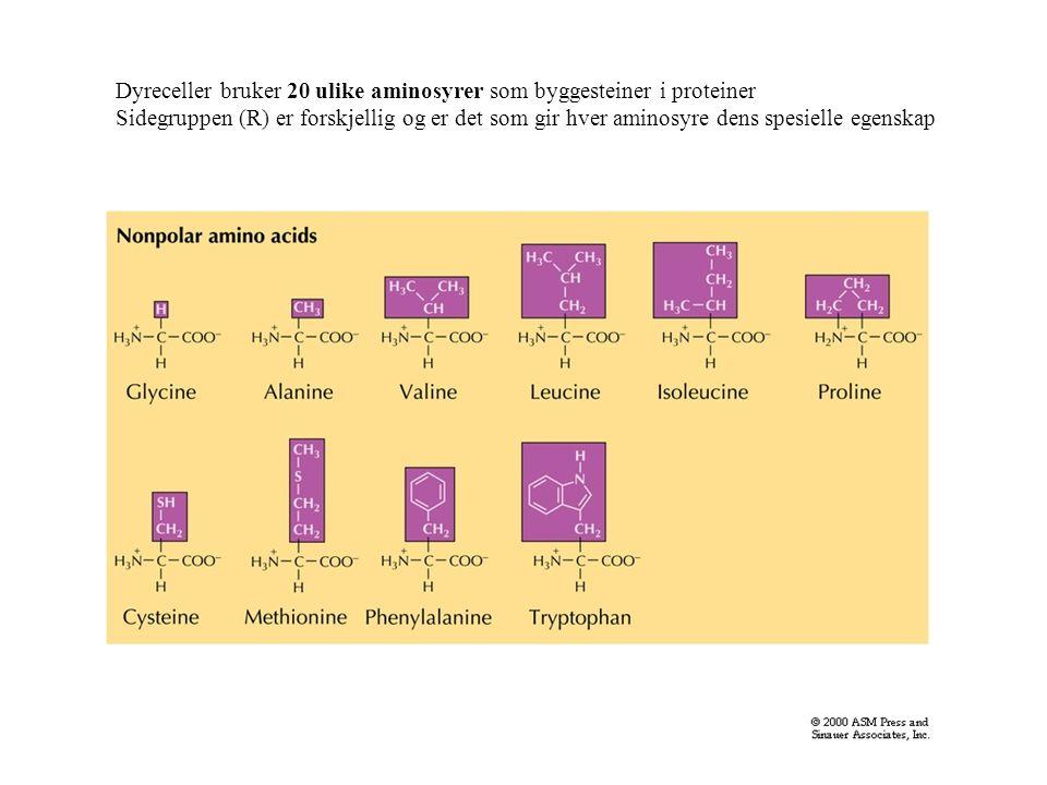 Dyreceller bruker 20 ulike aminosyrer som byggesteiner i proteiner Sidegruppen (R) er forskjellig og er det som gir hver aminosyre dens spesielle egenskap