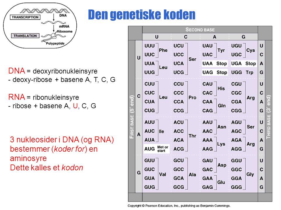 Den genetiske koden DNA = deoxyribonukleinsyre - deoxy-ribose + basene A, T, C, G RNA = ribonukleinsyre - ribose + basene A, U, C, G 3 nukleosider i DNA (og RNA) bestemmer (koder for) en aminosyre Dette kalles et kodon