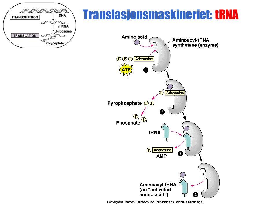 Translasjonsmaskineriet: tRNA