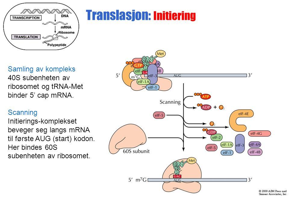 Translasjon: Initiering Samling av kompleks 40S subenheten av ribosomet og tRNA-Met binder 5' cap mRNA.