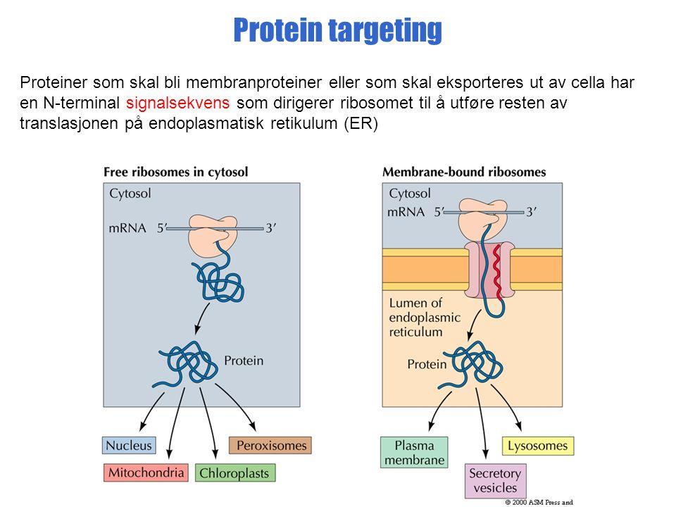 Protein targeting Proteiner som skal bli membranproteiner eller som skal eksporteres ut av cella har en N-terminal signalsekvens som dirigerer ribosomet til å utføre resten av translasjonen på endoplasmatisk retikulum (ER)