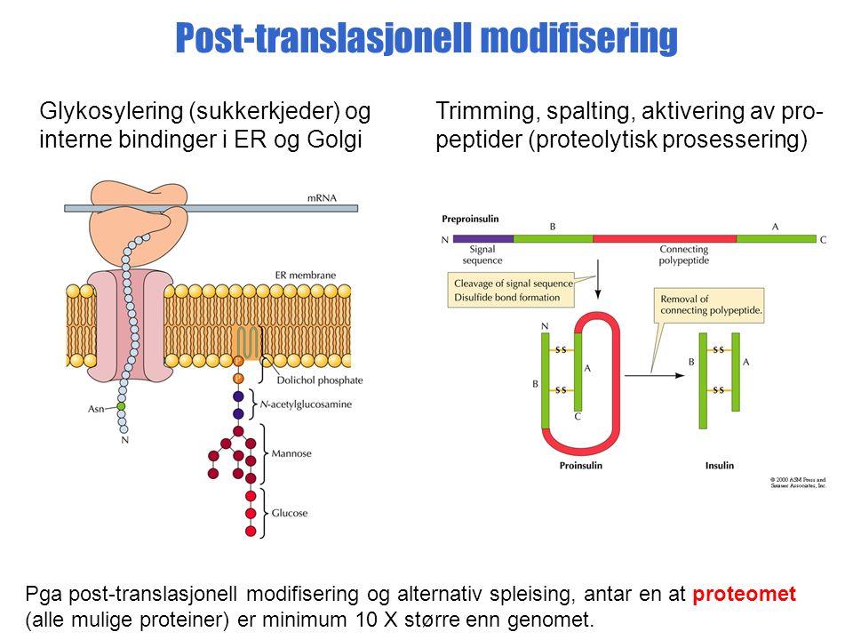 Post-translasjonell modifisering Glykosylering (sukkerkjeder) og interne bindinger i ER og Golgi Trimming, spalting, aktivering av pro- peptider (proteolytisk prosessering) Pga post-translasjonell modifisering og alternativ spleising, antar en at proteomet (alle mulige proteiner) er minimum 10 X større enn genomet.
