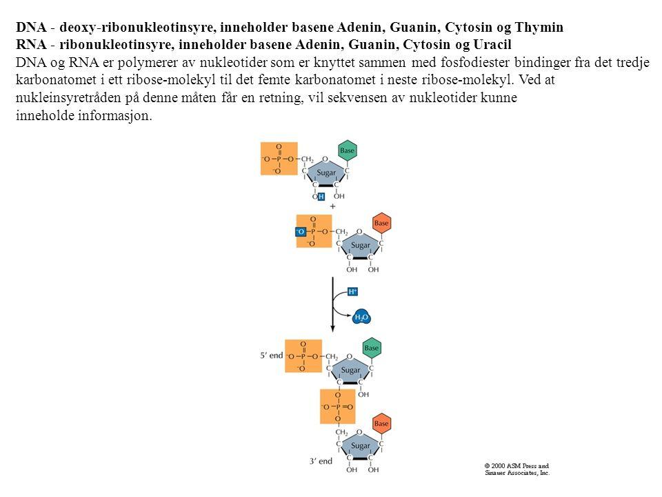 DNA - deoxy-ribonukleotinsyre, inneholder basene Adenin, Guanin, Cytosin og Thymin RNA - ribonukleotinsyre, inneholder basene Adenin, Guanin, Cytosin og Uracil DNA og RNA er polymerer av nukleotider som er knyttet sammen med fosfodiester bindinger fra det tredje karbonatomet i ett ribose-molekyl til det femte karbonatomet i neste ribose-molekyl.