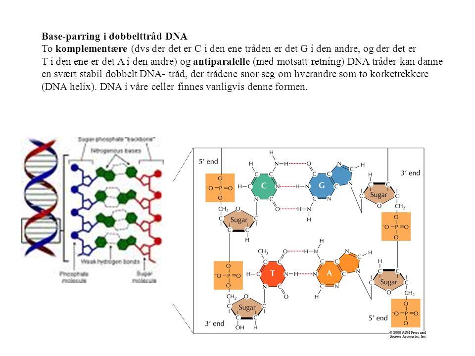 Base-parring i dobbelttråd DNA To komplementære (dvs der det er C i den ene tråden er det G i den andre, og der det er T i den ene er det A i den andre) og antiparalelle (med motsatt retning) DNA tråder kan danne en svært stabil dobbelt DNA- tråd, der trådene snor seg om hverandre som to korketrekkere (DNA helix).