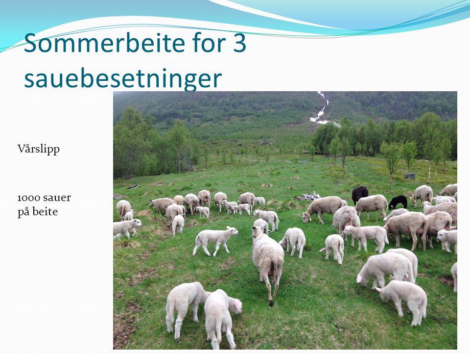 Sommerbeite for 3 sauebesetninger Vårslipp 1000 sauer på beite