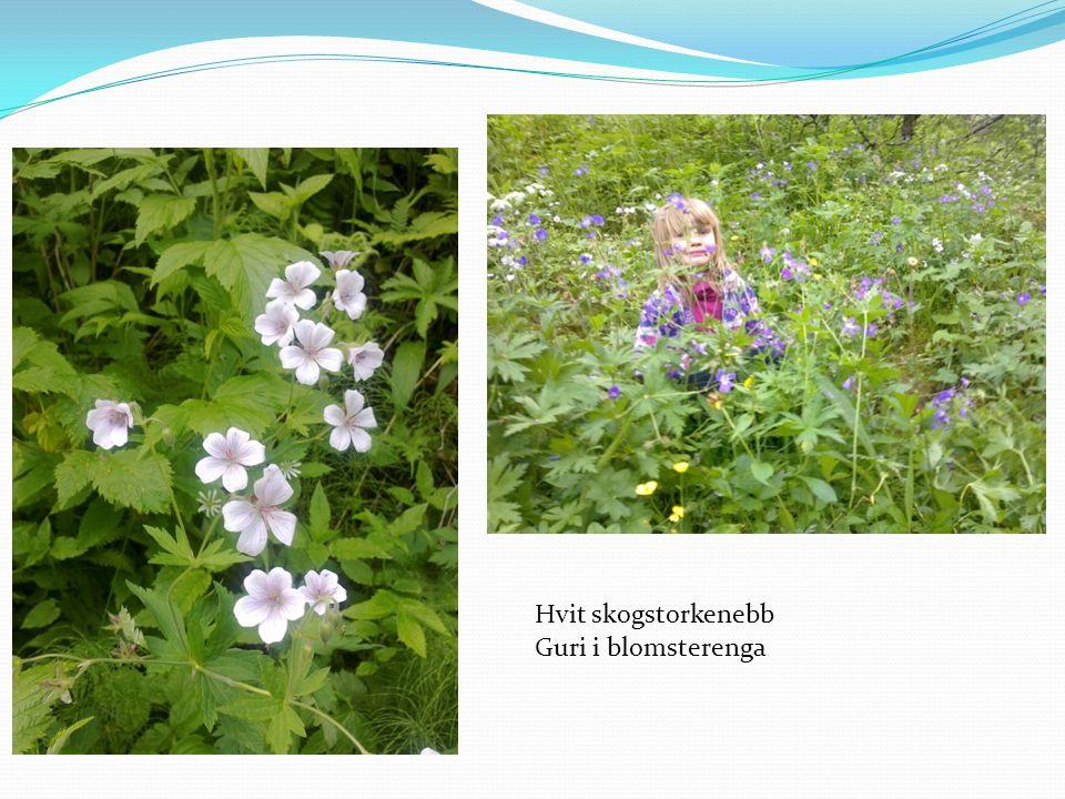 Guri i blomsterenga Hvit skogstorkenebb