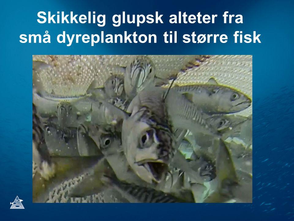 Skikkelig glupsk alteter fra små dyreplankton til større fisk