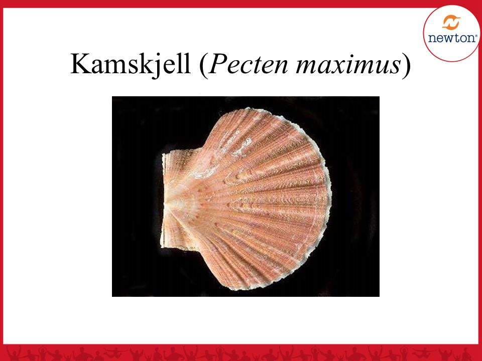 Kamskjell (Pecten maximus)
