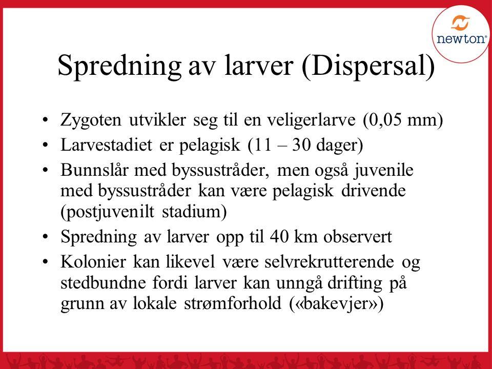 Spredning av larver (Dispersal) Zygoten utvikler seg til en veligerlarve (0,05 mm) Larvestadiet er pelagisk (11 – 30 dager) Bunnslår med byssustråder,