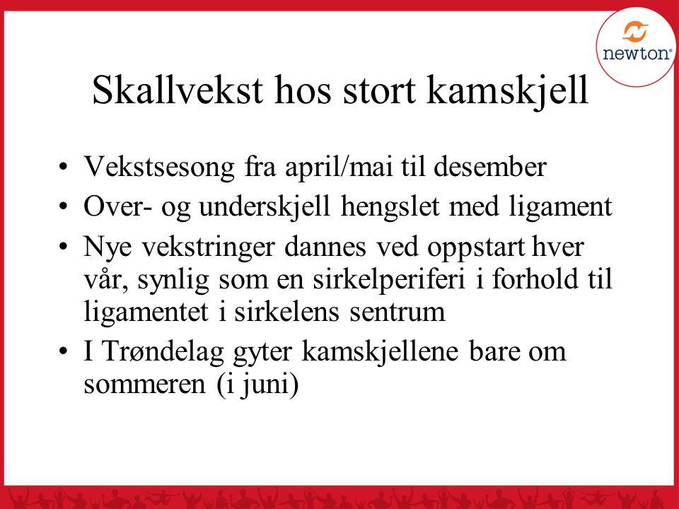 Skallvekst hos stort kamskjell Vekstsesong fra april/mai til desember Over- og underskjell hengslet med ligament Nye vekstringer dannes ved oppstart h