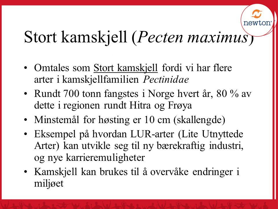Stort kamskjell (Pecten maximus) Omtales som Stort kamskjell fordi vi har flere arter i kamskjellfamilien Pectinidae Rundt 700 tonn fangstes i Norge h