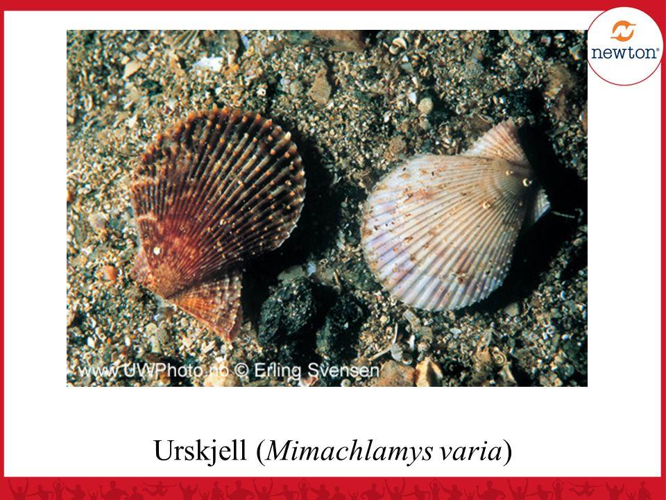 Generell kamskjellbiologi Blir vanligvis 10 – 15 år gamle, men kjent at de kan bli opp til 22 år gamle De fleste kan nå skall-lengde på 15 cm, mer sjelden opp til 21 cm Kjønnsmodne etter å ha nådd skall-lengde på 3 - 6 cm (2 – 4 år) Kan omsettes etter 4 - 6 år (krav > 10 cm) Gyter 10 – 20 millioner kjønnsceller (flest sædceller)