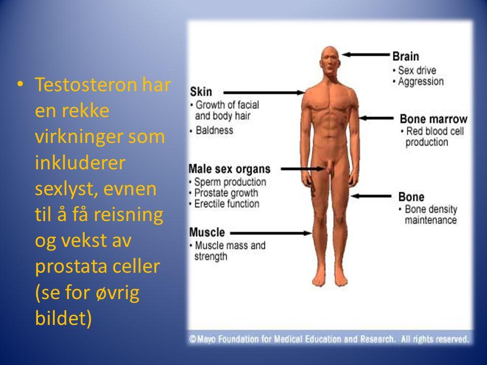 Testosteron har en rekke virkninger som inkluderer sexlyst, evnen til å få reisning og vekst av prostata celler (se for øvrig bildet)