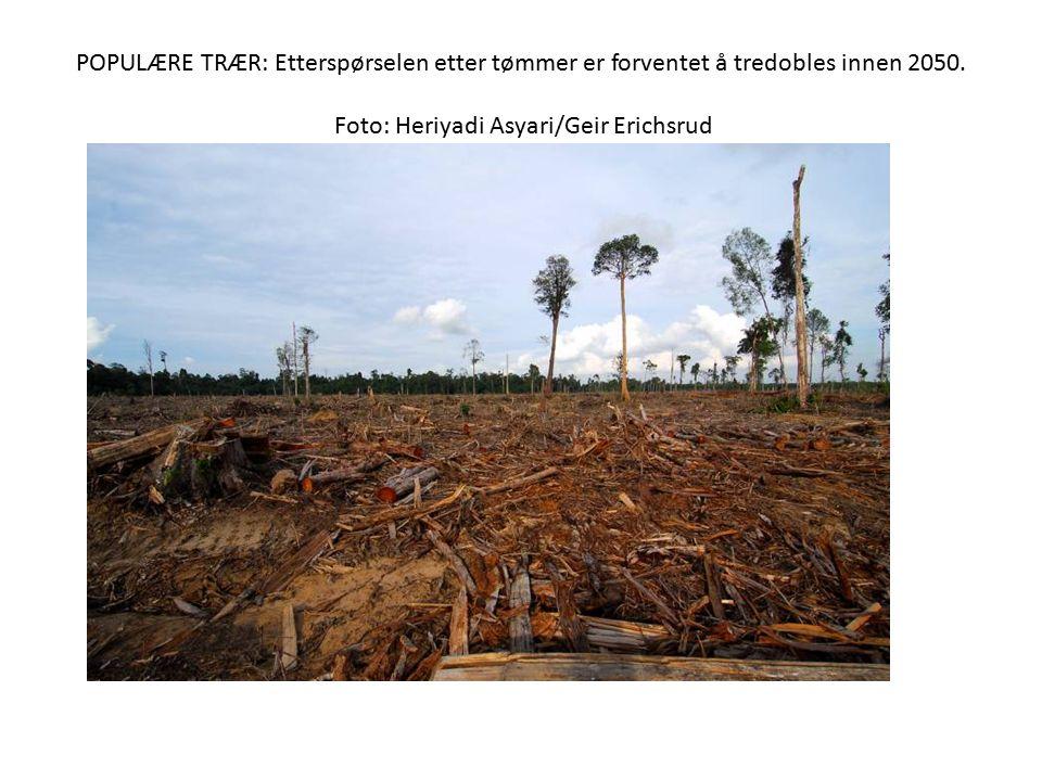 POPULÆRE TRÆR: Etterspørselen etter tømmer er forventet å tredobles innen 2050. Foto: Heriyadi Asyari/Geir Erichsrud