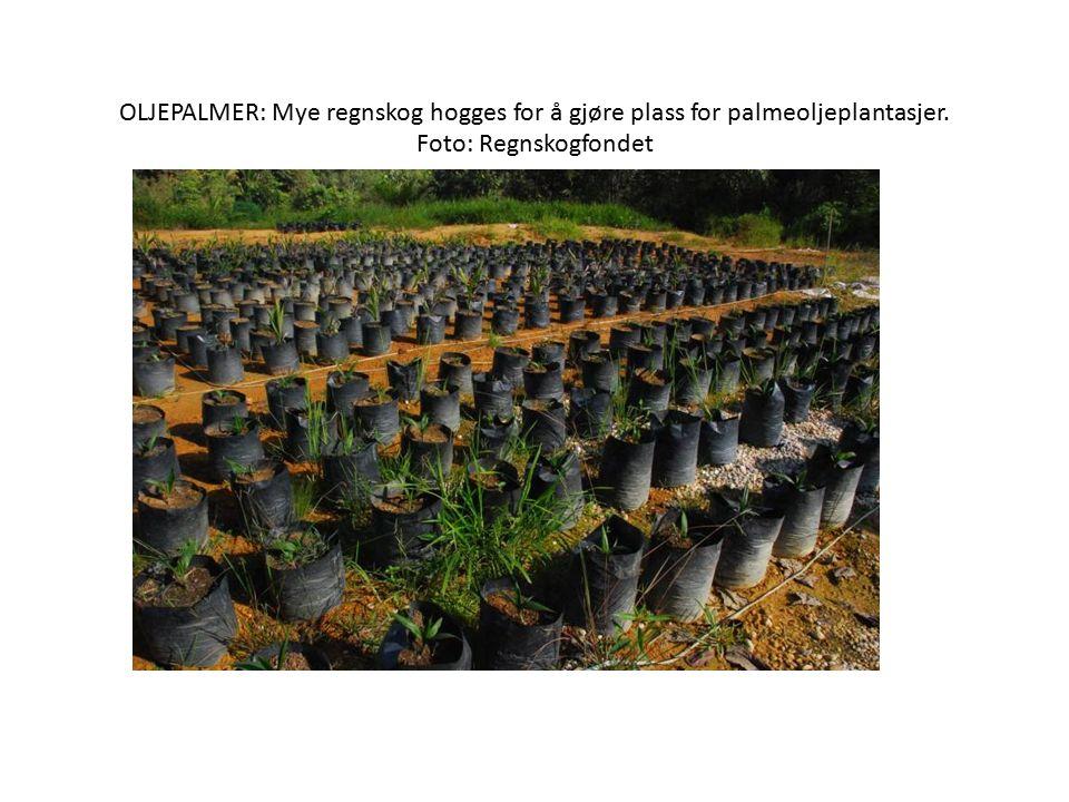 OLJEPALMER: Mye regnskog hogges for å gjøre plass for palmeoljeplantasjer. Foto: Regnskogfondet