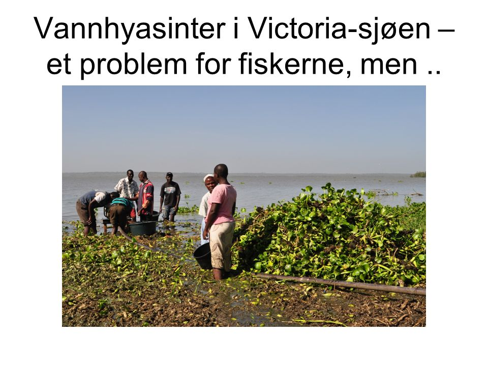 Vannhyasinter i Victoria-sjøen – et problem for fiskerne, men..