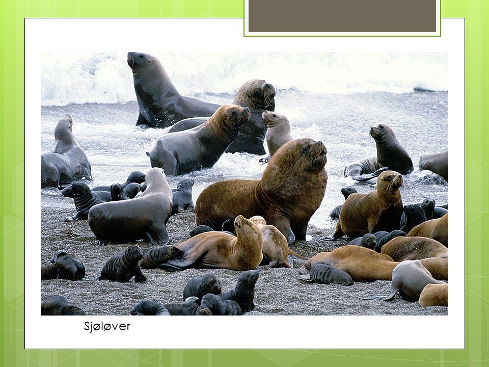 Sjøløver