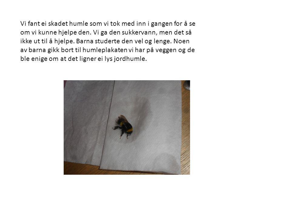 Vi fant ei skadet humle som vi tok med inn i gangen for å se om vi kunne hjelpe den.